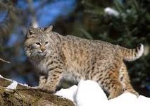 picture courtesy of wildlife.ohiodnr.gov