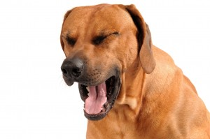 Why is your dog coughing? Professional Pet Sitting Etc.