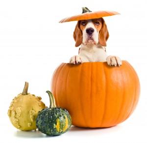 It's The Great Pumpkin Beagle !! Professional Pet Sitting Etc