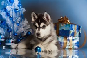 Siberian Husky Pup with Christmas tree