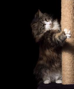 beautiful furry purebred kitten sit near scratching post
