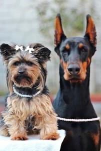 Doberman and terrier