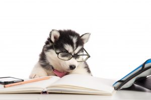 Cute siberian husky puppy in glasses working on white table