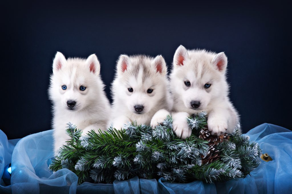 Three puppies husky and spruce wreath in studio