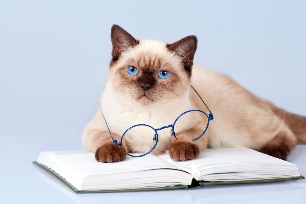 siamese cat with glasses, november 2016