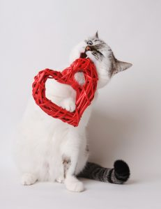 White cat with blue eyes in red bow tie nibbles decorative heart