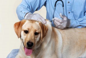 yellow lab gets vaccine