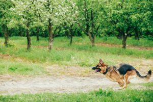 Brown German Shepherd Running On Green Grass