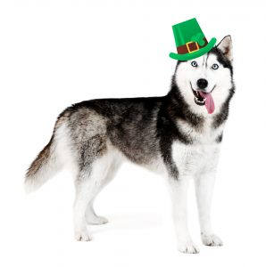 Funny happy dog with St. Patrick's Day hat, isolated on white