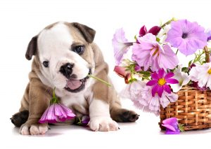 Puppy with flowers, May