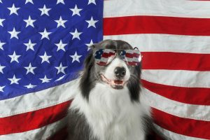 July 2018, Beautiful border collie in front of a USA flag with sunglasses