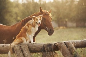 August 2018, Red border collie dog and horse together at sunset in summer