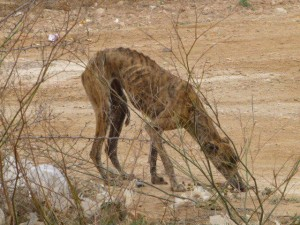 This is a Galgos.  When these dogs do not perform well, they are discarded by running them off or are killed.