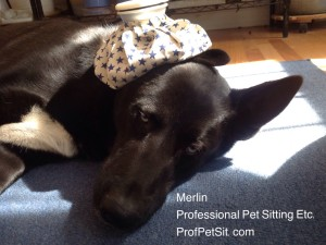 Merlin is not feeling well Professional Pet Sitting Etc.