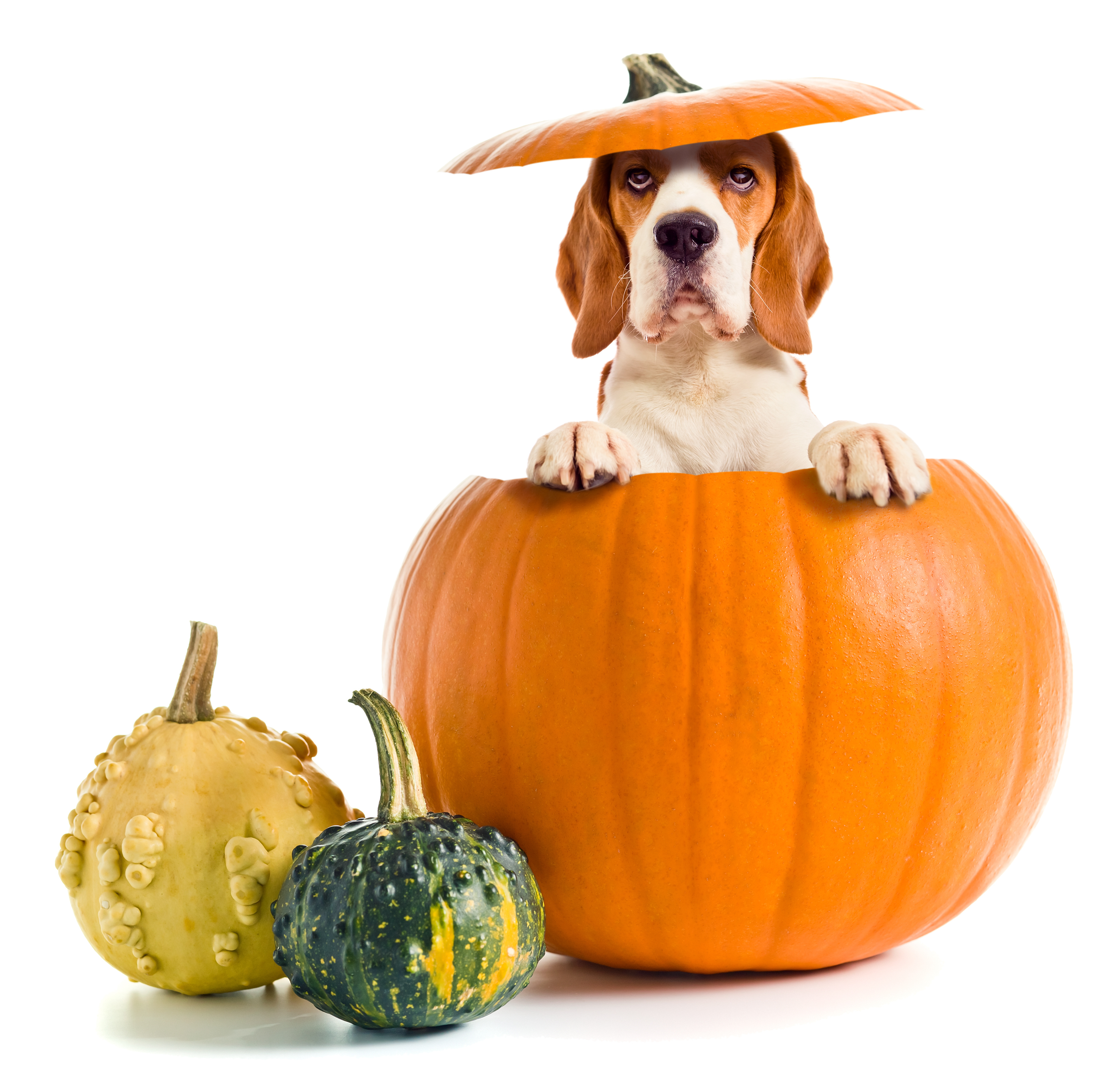 Do it yourself pet costumes archives professional pet sitting etc professional pet sitting etc solutioingenieria Image collections