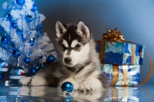 Siberian Husky Pup with Christmas tree