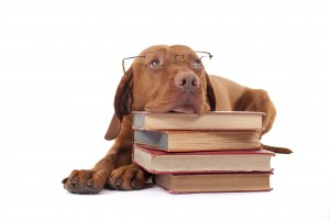 Chocolate lab with books
