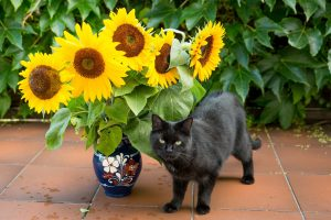 black cat and sunflower