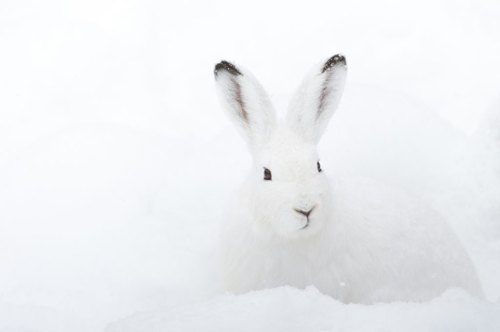 Mountain Hare (lat. Lepus timidus) with white fur sitting in snow in winter