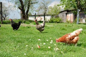 Three chickens in the yard pecking crumbs of bread.