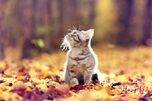 British kitten in autumn park, fallen leaves, September 2017