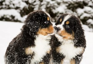 Snowy bernese mountain dog puppets sniff each others