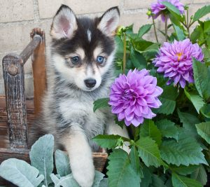 Very cute Pomsky puppy sitting in a basket outdoors with flowers around her.