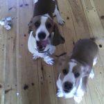 Bo & Ali bassett hounds