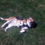 Daisy, dog rolling in the grass