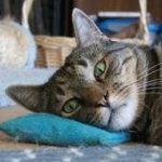 Danny kitty on catnip pillow