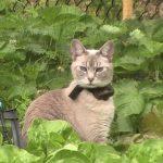 Felice, tonkinese kitty in garden