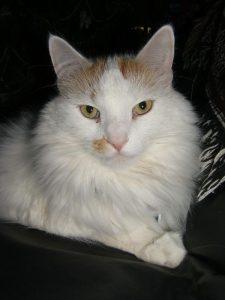 Sazar, orange and white longhaired cat