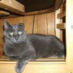 Tex, grey kitty on chair