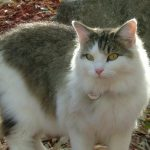 Desilu, brown tiger with white longhaired cat