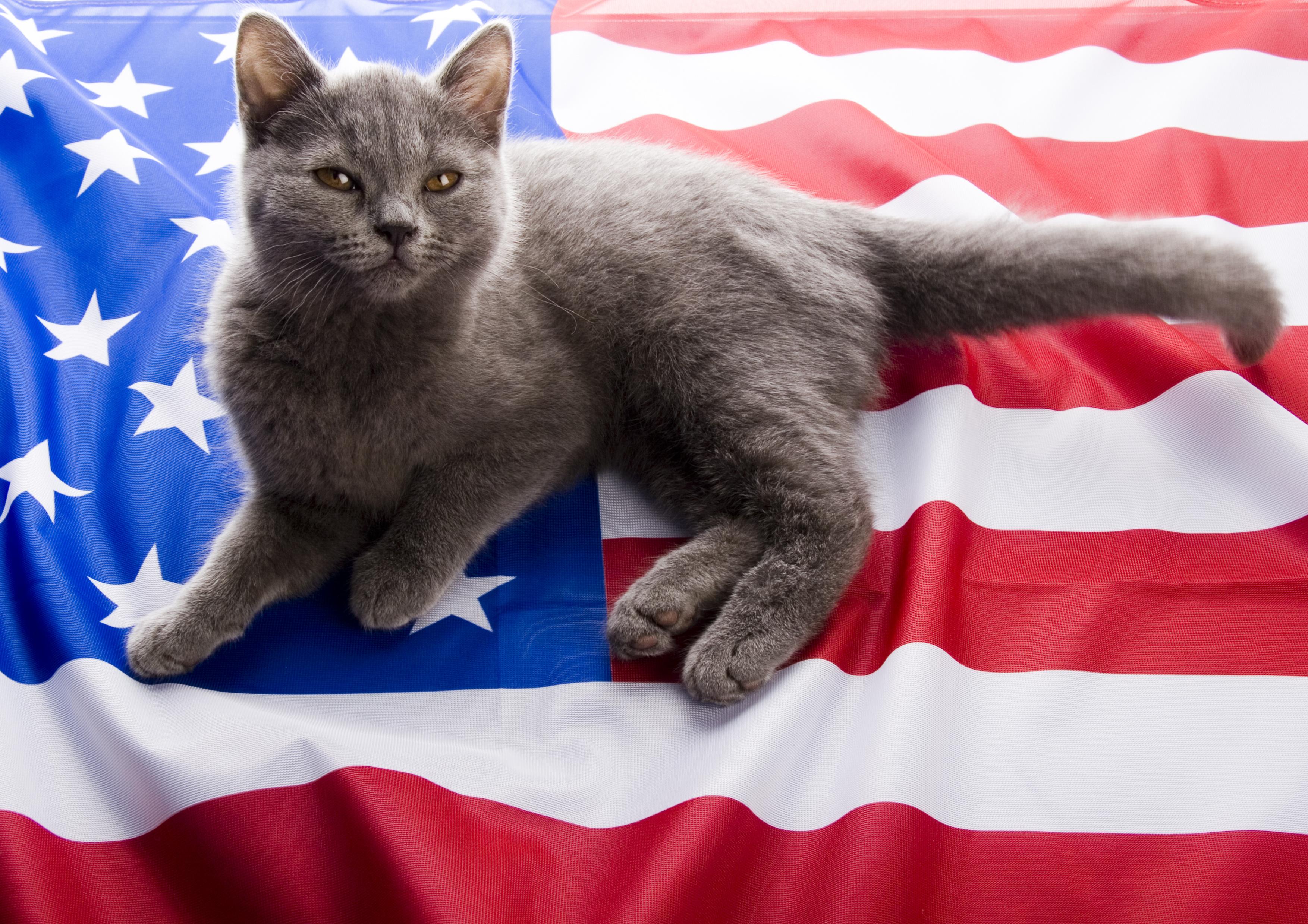 British Blue Cat Amp American Flag 183 Award Winning Dog